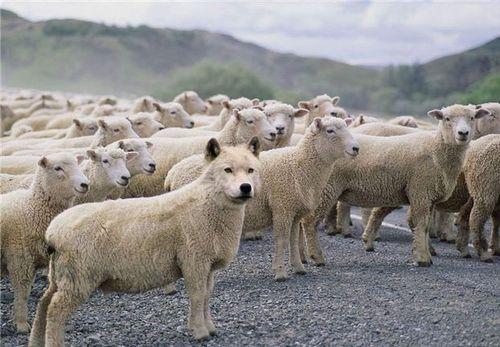 Wolf-in-sheeps-clothing-31
